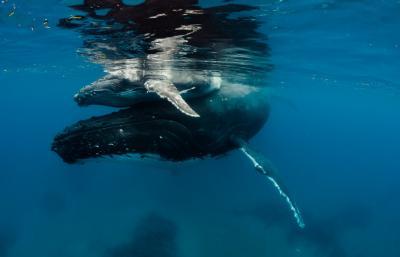 Freediving Holidays Humpback